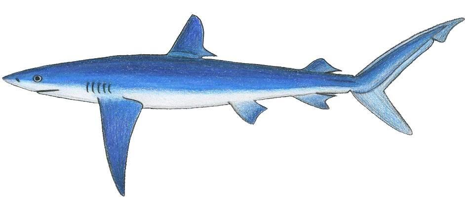 Un requin peau bleue dans le Golfe du Morbihan
